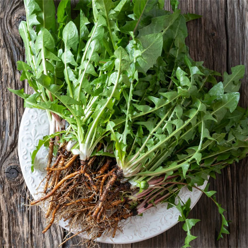 Culinary Dandelion Whole Plant Root Allelopathic Fusarium