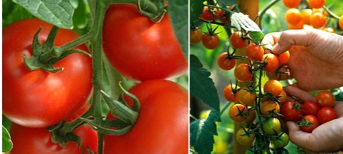 Tomatoes, Red Slicers and Cherries!