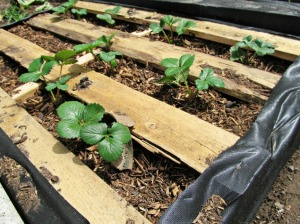 Pallet Garden Strawberries Boards as Mulch