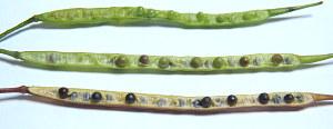 Seed Pods Brassica Immature Mature
