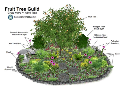 Young Food Forest Fruit Tree Guild by the Resilliency Institute