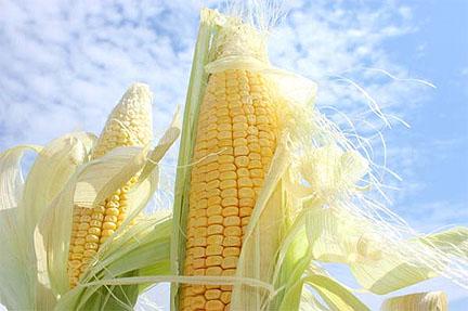 Corn! And exultant, inspriring summer crop!