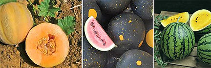 Melons!  Choose small early varieties, cool and damp weather tolerant, if you are coastal!