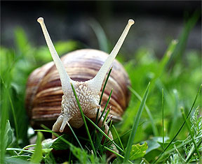 Snail - Helix Pomatia, edible, pest, amazing animal!
