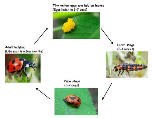Insect Beneficial Ladybird Beetle Ladybug Life Stages