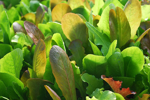 Mesclun - a Tasty Mix of your favorite lettuces!