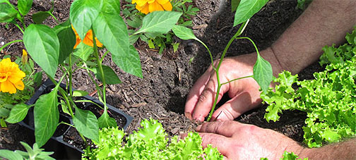 Pest Prevention and taking care of your plants during pest cycles is a natural part of gardening!