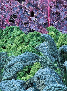 Kale is beautiful, comes in delightful varieties!  Lacinato/Elephant, Curly Leaf, Red Russian, Red Bor!
