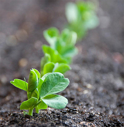 Pea seedlings! Yes!