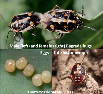 Bagrada Bug Stages - check nursery transplants for eggs on undersides of leaves.