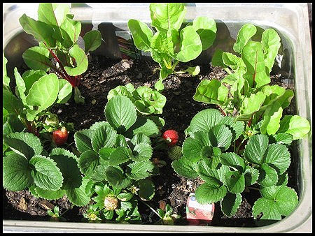 Container Companions!  Strawberries, lettuce, chard, beets!