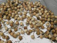 Cilantro Coriander Seeds