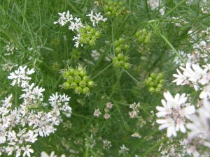 Cilantro flowers and seeds