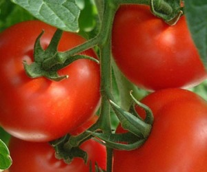 March is the earliest time for Tomatoes, April is better!
