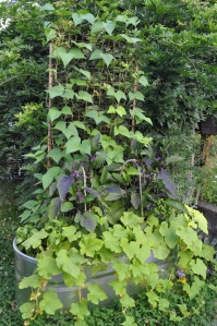 Vegetable Gardening Gone Vertical - Trellis of beans and cucumbers!