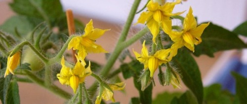 Tomato flowers - Pest & Disease Free, Well Fed Veggies!