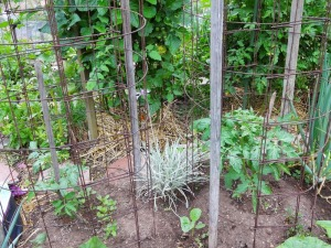 Tomato Grafting Ananas Noire Scion, Maxifort Rootstock
