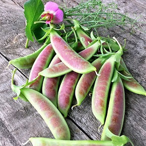 Pea Snap - Mangetout Spring Blush is a pretty green with a pink blush!