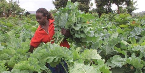 Farming ThousandHeaded Kale is quite popular in Kenya! Great return per square foot!