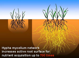 Mycorrhizal Fungi, the Proof is in the Roots!