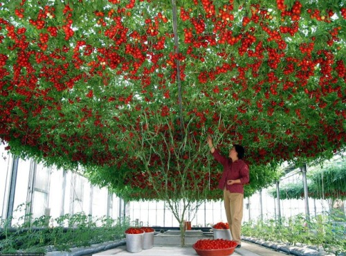 Tomato Tree Epcot Disney Holds World Production Record