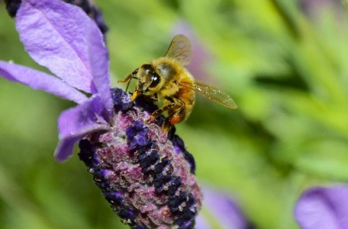 Plant habitat for bees! Double benefits when you plant flowering herbs like Lavender!