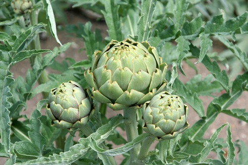Edible Perennial Artichoke Plant Fruits