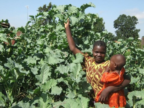 Edible Perennial Tree Collards from Africa