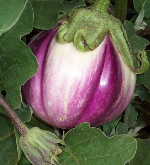 Beautiful Eggplant Variety Rosa Bianca