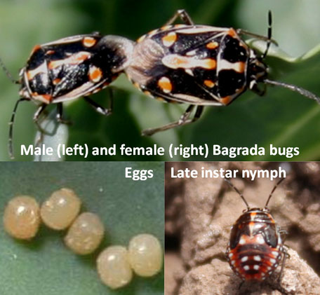 Bagrada Bug Stages