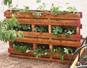 Pallet Garden stained strawberries vertical