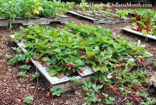 Mavis Butterfield's Pallet Garden of Strawberries!
