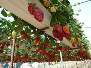 STRAWBERRIES, LOTS OF STRAWBERRIES! Overhead planted in rain gutters!