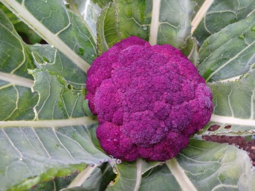 Cauliflower Sicilian Violet Pilgrim Terrace December 2014