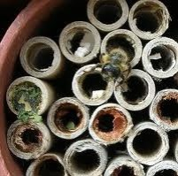 Solitary Mason Bee Adult Emerging from Nest
