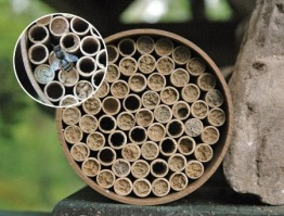 Bee Solitary Mason Nests
