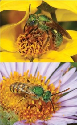 Some 60 to 80 species were identified in each city; the ultra-green sweat bee (Agapostemon texanus) was among the most common. Top, a female on bidens (Bidens ferulifolia); above, a male on sea daisy (Erigeron glaucus).