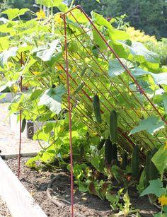 Trellis Cucumber Slanting