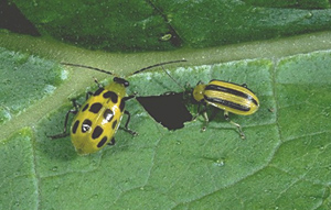 Cucumber Beetle Western Striped Spotted