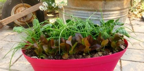 Salad Bowl Living Gift Cut Come Again