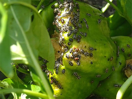 Insect - Bagrada Bug infestation on Bell Peppers