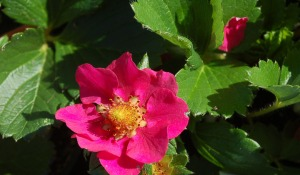 Strawberry Berries Galore Rose
