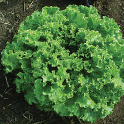 Lettuce Green Star Heat Tolerant, bolt, tipburn and mildew resistant!