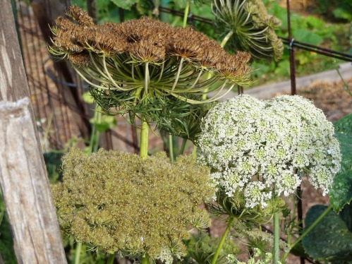 Carrot Umbels - Buds to Seeds