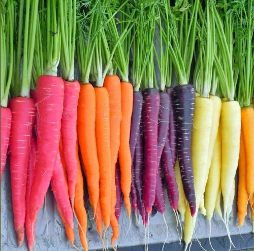 Carrots Rainbow! Rose, Classic Orange, Purple Sun, White Satin