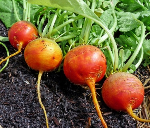 Heirloom Golden Detroit Beet 55 Days