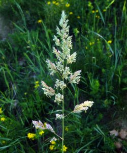 Grass in Flower, soon to Seed