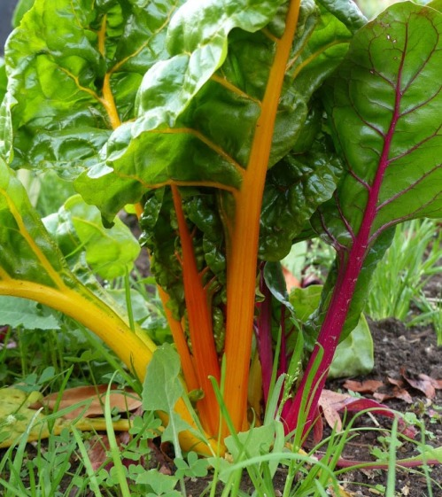 Chard, the Bouquet of the Garden