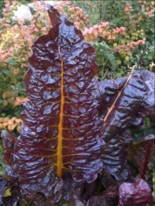 Chard Purple Leaves Gold Ribs Savoyed