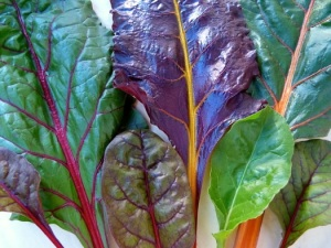 Chard, an amazing array of leaf and rib colors!